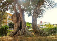A árvore mais velha de Portugal - quase 3 mil anos