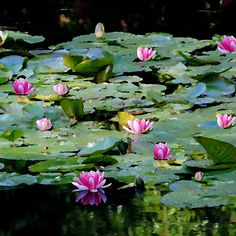 It took me time to understand my water lilies. I had planted them for the pleasure of it; I grew them without ever thinking of painting them. —Claude Monet, of his gardens at Giverny, France, pictured. An Impressionist's Garden. Via T+L (www.travelandleisure.com).