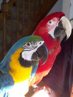 Horatio (greenwing macaw) and Azul (blue & gold macaw) I love their expressions!