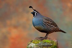 California valley quail (1024×683)