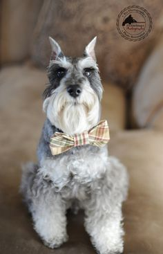 Handcrafted Dog Collars by Fix Your Images Photography #Miniature #Schnauzer