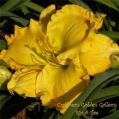 CARIBBEAN GOLDEN GALLEON Hybridizer: Talbott Year of Registration or Introduction: 1997 Ploidy: Diploid Foliage type: Evergreen Scape height: 25 inches Bloom size: 6.5 inches Bloom time: Midseason Plant Traits: Extended Bloom Bloom Traits: Self Bloom Form: Single Color description: Gold self with a yellow throat.
