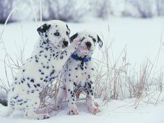 Dalmatian... I want one!!