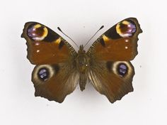 Inachis io, peacock butterfly, dried specimen