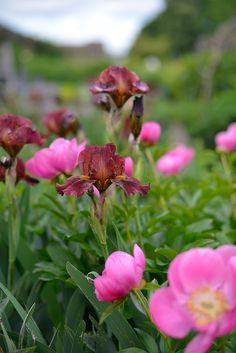Rosenpion tillsammans med en vinröd iris