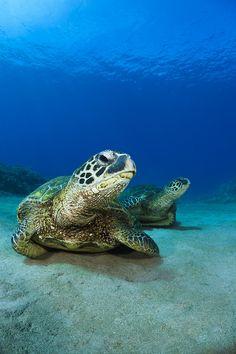 Green Sea Turtle Couple Photograph by Dave Fleetham - Green Sea ...