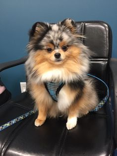 Sprout on the set. The cutest pomeranian