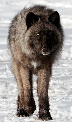"""beautiful-wildlife: """" Timber Wolf by Alison Mazur """" black and gray timber wolves terrify and mesmerize me. Wolf Photos, Wolf Pictures, Animal Pictures, Beautiful Creatures, Animals Beautiful, Cute Animals, Wild Animals, Baby Animals, Wolf Spirit"""