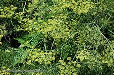 Dill Essential Oil - Botanical name: Anethum graveolens Botanical Family: Apiaceae Cultivation method: Organic Country of Origin: Distilled in France Blends With: Lemon, Carrot Seed, Frankincense, Turmuric, Inula and Rosemary