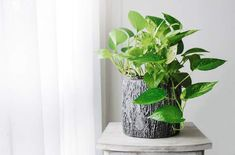 bathroom plants A bathroom is often a dark, humid environment thats not conducive to house plants - but these 16 plants thrive in your bathroom and add a beautiful pop of life and greenery. Small Indoor Plants, Cool Plants, Air Plants, Window Plants, Green Plants, Hanging Plants, Plante Pothos, Pothos Plant Care, Golden Pothos Plant