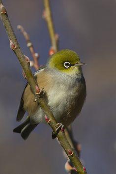 We have so many of these in our garden. Birds 2, Cute Birds, Pretty Birds, Small Birds, Little Birds, Colorful Birds, Wild Birds, Beautiful Birds, Exotic Birds