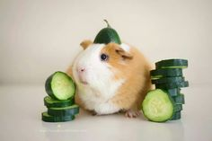 - Yes! Guinea Pigs love cucumber.
