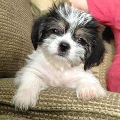 Shorkie puppy