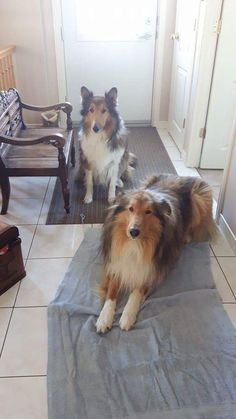 Sheep Dogs, The Perfect Dog, Rough Collie, Sheltie, Corgi, Cute Animals, Doodles, Cats, Pretty Animals