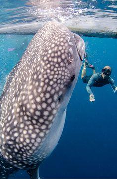 Whale Shark  Ervaring om nooit meer te vergeten ( Guido Bindels samen met Dorian)