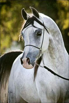Arabian horse with a striking beautiful pretty face. Oh my! This horse is beautiful!