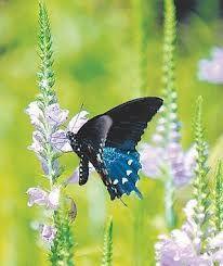 plants for butterflies and hummingbird