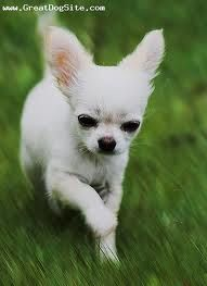 Chihuahua on the run ... Like Speedy Gonzales....ariba ariba