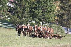 team bringing in the hay