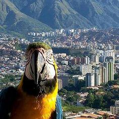 Vía @nenitavane7 ・・・ #beautiful #hermoso #montaña #micerro #paisaje #colors #sinpalabras #natural #increiblevzla #elnacionalweb #caracas #venezuela #bellezanatural #green #sky #ávila #guacamayas #fauna #silvestre #naturaleza #nofilter #sinfiltro #urbanismo #ciudad #instalike #instamoment #instaphoto