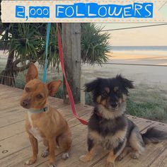Woohoo we have 2000 followers #louieandcharlie #Louie #charlie #2000 #followers #followme #2000followers #nextupis3000 #dogsofinsta #dogsofficialdog #dogsofinstagram #dogsofinstaworld #maltese #shihtzu #chihuahua #minifoxy #myboys #currumbin #currumbinbeach #picoftheday #model #dogmodel #friends #bff #besties by louieandcharlie http://ift.tt/1X9mXhV