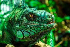 Leguan, Augen, Natur, Reptil, Tier