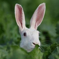 #albino #hare #white #rabbit Albinohaas_zoogdiervereniging