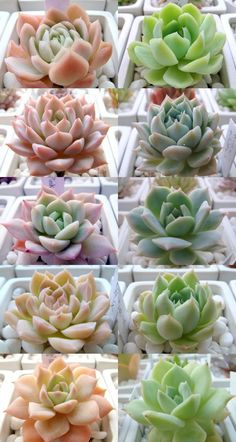 Image 5 - Echeveria of autumn leaves 2011 edition Part10 image of - Onikuiri diary - Yahoo! blog