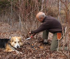 I detail the annual pruning of my blueberry bushes, each one of which yields almost 20 quarts of delicious berries each year. Growing Blueberries, Organic Blueberries, Blueberry Bushes, Garden, Garten, Lawn And Garden, Gardens, Gardening, Outdoor