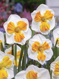 New Tricolette Split Corona Daffodil  Narcissus The chalky white petals of Tricolette are the perfect backdrop for a tangerine-orange trumpet that is split wide open to lay flat. A beautiful and unique daffodil for your collection. Bulb size 12-14 cm in circ.