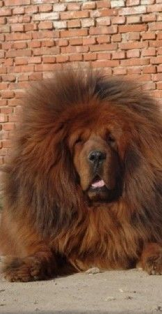 Epingle Par Zoran Gogic Sur Mastim Tibetano Dogue Du Tibet