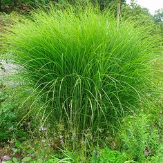 "Miscanthus Gracillimus ""Maiden Grass"" Zone: Height: Prefers full sun and moist soil Fall and winter interest Garden Spaces, Garden Plants, Balcony Garden, Peach Tree Diseases, Miscanthus Sinensis Gracillimus, Plant Guide, Fine Gardening, Peach Trees, How To Attract Birds"