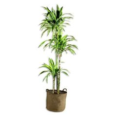 Dracaena Lemon Lime 100cm - Achat / Vente plante poussée Dracaena Lemon Lime 100cm - Cdiscount Palmiers, Deco Design, Lemon Lime, Decoration, Planter Pots, Plants, Living Room, Decor, Decorations