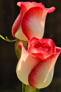 Red and White Roses via Lovely Roses Facebook page