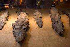 Las momias de los cocdrilos del templo de Kom Ombo en su visita del templo de kom ombo #excursiones_desde_luxor #tour_kom_ombo_templo #visita_del_templo_de_kom_ombo #Egipto_tours