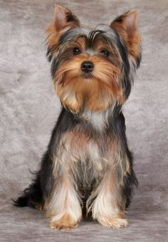 #YorkshireTerriers are not only great #pets, they're also adorable. Click on this image for more pinable pictures of #dogs and #puppies