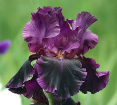 Tall Bearded Iris germanica 'Pansy Parade'