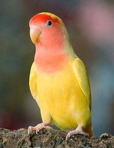 free-ads.eu - Birds classifieds: Lutino Lovebirds - free ads classifieds