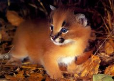 ~~ a caracal kitten with blue eyes ~~