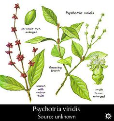 Psychotria viridis - contains DMT used with B.Caapi in the making of Ayahuasca