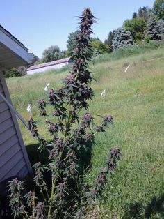 Ohhhh michigan :) Purple weed