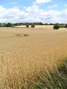 Field of Wheat, Aldridge, Walsall, England (All Original Photography by vwcampervan-aldridge.tumblr.com)