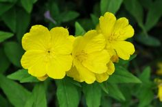 Pain-Killing Foods #10: Evening Primrose