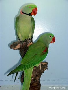 Nepalese Alexandrian Parakeets