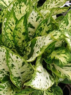 Dieffenbachia maculata - by Forest & Kim Starr Dumb Cane Plant, Houseplants, Indoor Plants, Lush, Greenery, Garden Design, Plant Leaves, Landscape, Gardening