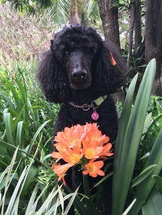 Poodle flowers