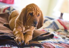 Bloodhound pup... I want you!!