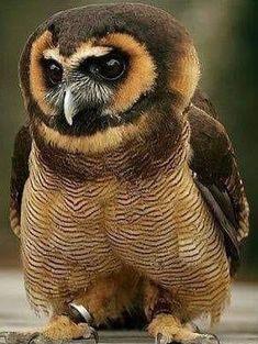 Pretty Birds, Love Birds, Beautiful Birds, Owl Pictures, Types Of Animals, Kinds Of Birds, Birds Of Prey, Bird Feathers, Amazing Nature