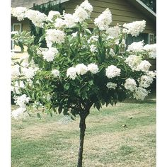 White Peegee Hydrangea Tree Flowering Shrub in Pot (With Soil) (L9285)