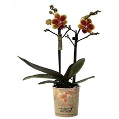 Little kolibri orchid colombia Orchids, Colombia, Lilies, Orchid